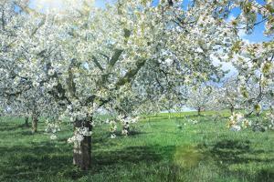 Germany, Bavaria, Cherry Blossom by cgimanufaktur
