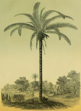 Astrocaryum Chambira Palm Tree, Botanical Illustration, c.1854 by Ch^ Lemaire