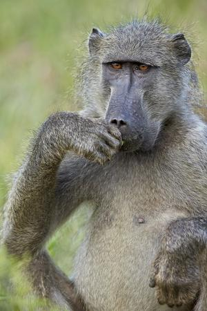 https://imgc.allpostersimages.com/img/posters/chacma-baboon-papio-ursinus-eating-kruger-national-park-south-africa-africa_u-L-PWFEUV0.jpg?p=0