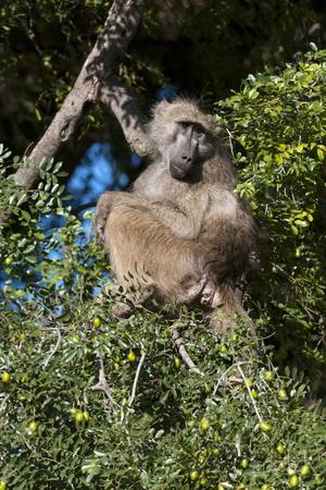 https://imgc.allpostersimages.com/img/posters/chacma-baboon-papio-ursinus-mashatu-game-reserve-botswana-africa_u-L-PQ8RAB0.jpg?artPerspective=n