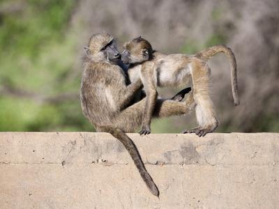 https://imgc.allpostersimages.com/img/posters/chacma-baboons-papio-cynocephalus-ursinus-playing-kruger-national-park-mpumalanga-south-africa_u-L-PFNO660.jpg?artPerspective=n