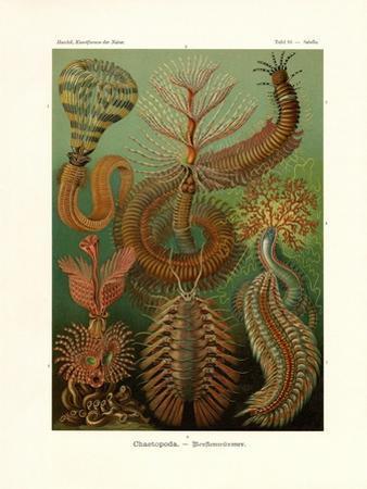 Chaetopoda, 1899-1904