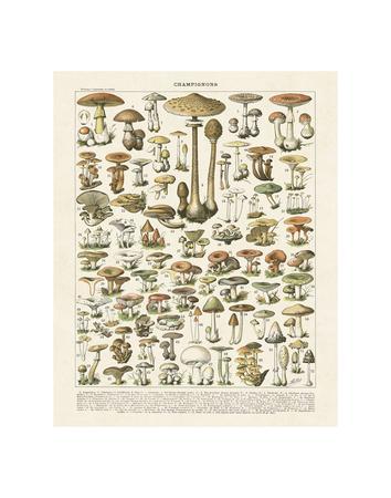 https://imgc.allpostersimages.com/img/posters/champignons-i_u-L-F8IKBF0.jpg?p=0