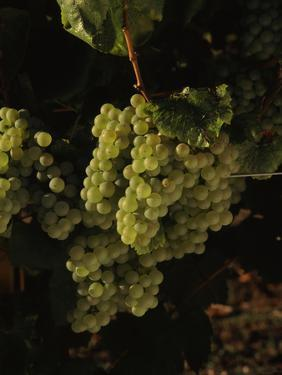 Chardonnay Grapes in Vineyard, Carneros Region, California, USA
