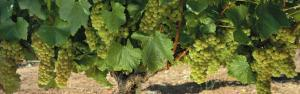 Chardonnay Grapes on the Vine, Napa California, USA