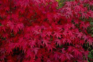 Acer Autumn by Charles Bowman