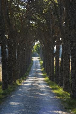 Avenue of Trees, Chiusi, Umbria, Italy, Europe by Charles Bowman