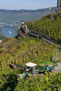 Grape Harvesting Overlooking Mosel Valley at Bernkastel-Kues, Rhineland-Palatinate, Germany, Europe by Charles Bowman