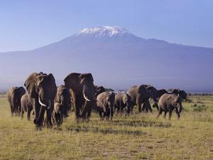 Kilimanjaro Elephants by Charles Bowman