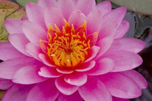 Lily closeup by Charles Bowman