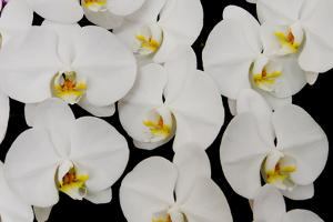 Orchid Phalaenopsis White by Charles Bowman