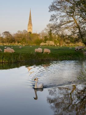 Swan In Front Of Salisbury Cathedral by Charles Bowman