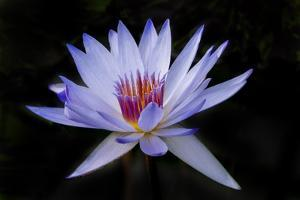 Waterlily White by Charles Bowman