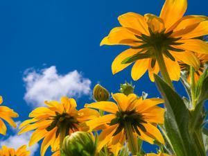 Yellow Marigold by Charles Bowman
