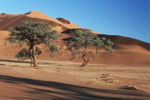 Acacia Trees in Elim Dune, Namib-Naukluft, Namibia by Charles Crust