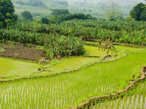 Banana Trees and Rice Paddies, Honghe, Yunnan Province, China by Charles Crust