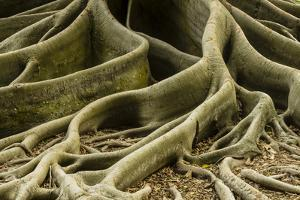 Buttress Roots of Large Evergreen Banyan Tree, Sarasota, Florida, USA by Charles Crust