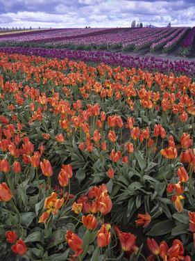 Orange and Purple Tulips, Skagit Valley, Washington, USA by Charles Crust