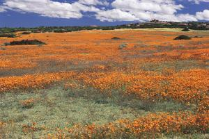 South Africa, Namaqualand, View of Dimorphotheca Sinuata Flower by Charles Crust