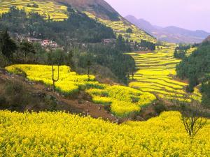 Terraced Fields of Yellow Rape Flowers, China by Charles Crust