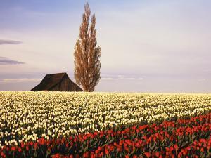 Tulip Field with Barn and Poplar Tree, Skagit Valley, Washington, USA by Charles Crust