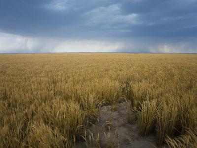 Distant Rain Shafts from Approaching Storms over Wheat Fields in Southwestern Kansas, USA