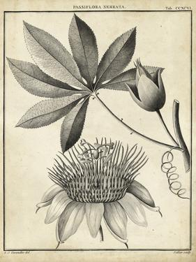 Passiflora II by Charles Francois Sellier