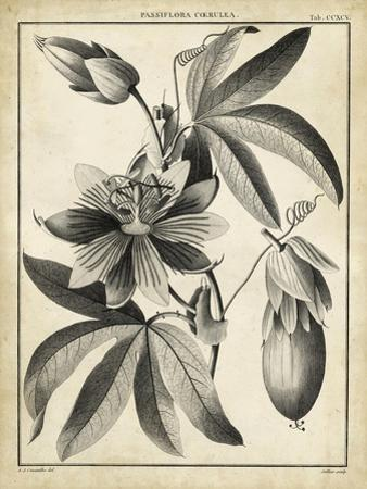 Passiflora III by Charles Francois Sellier