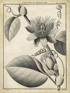 Passiflora IV by Charles Francois Sellier