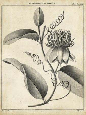Passiflora V by Charles Francois Sellier