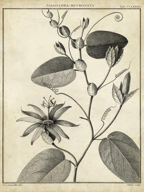 Passiflora VI by Charles Francois Sellier