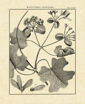 Vintage Botanical Study II by Charles Francois Sellier