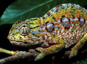 Chameleon, Madagascar by Charles Glover