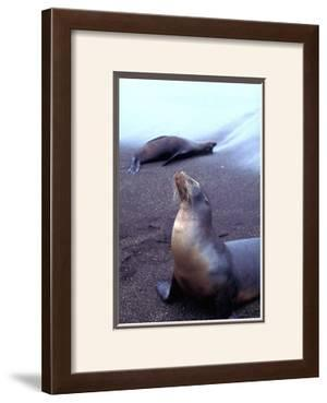 Stretching Seal, Galapagos by Charles Glover