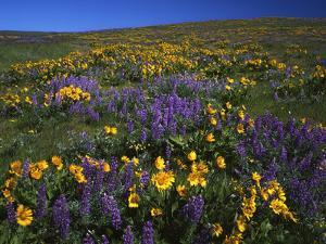 Arrowleaf Balsam Root, Lupine, Columbia Hills Sp, Washington, USA by Charles Gurche
