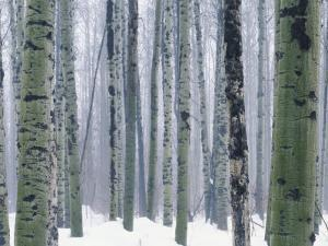 Aspen forest in winter, Methow Valley, Washington, USA by Charles Gurche