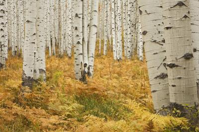 Aspens in White River National Forest Colorado, USA by Charles Gurche