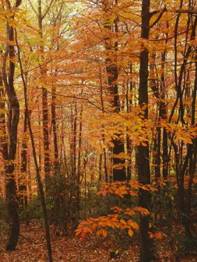 Autumn forest, Blue Ridge Parkway, Virginia, USA by Charles Gurche