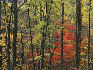 Autumn forest near Peaks of Otter, Blue Ridge Parkway, Appalachian Mountains, Virginia, USA by Charles Gurche