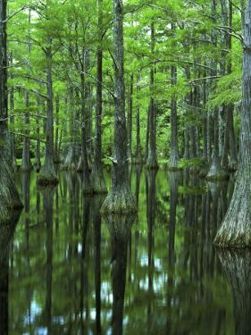 Bald Cypress, Apalachicola National Forest, Florida, USA by Charles Gurche