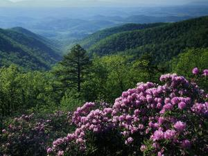 Blue Ridge Mountains Catawba Rhododendron, Blue Ridge Parkway, Virginia, USA by Charles Gurche