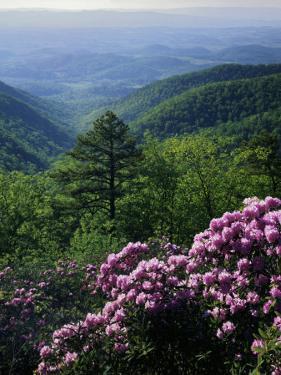 Blue Ridge Mountains Catawba Rhododendron, Blue Ridge Parkway, Virginia, USA by Charles Gurche