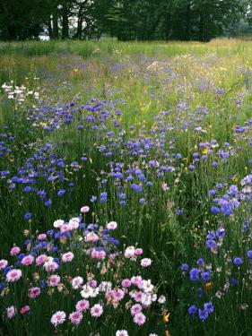 Cornflower Wildflower meadow, Norfolk Botanical Garden, Virginia, USA by Charles Gurche