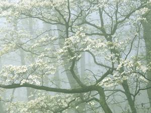Flowering Dogwood in foggy forest, Shenandoah National Park, Virginia, USA by Charles Gurche