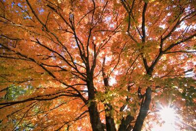 Maple Tree, Shawnee Mission Park, Johnson County, Kansas, USA by Charles Gurche