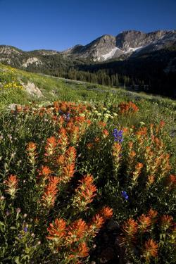Meadow Wildflowers, Little Cottonwood Canyon, Albion Basin, Utah, USA by Charles Gurche