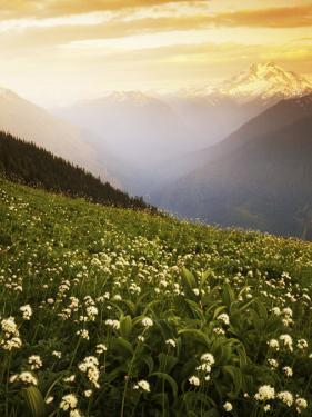 Meadow with helebore and sitka valerian on Green Mountain, Glacier Peak Wilderness, Washington, USA by Charles Gurche