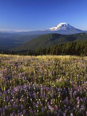 Mt. Adams in distance, Meadow, Goat Rocks Wilderness, Washington, USA by Charles Gurche