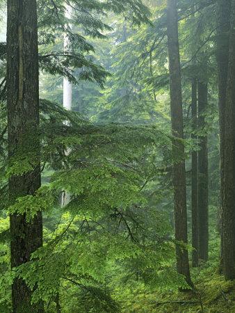 Old growth forest, Mt. Rainier National Park, Washington, USA