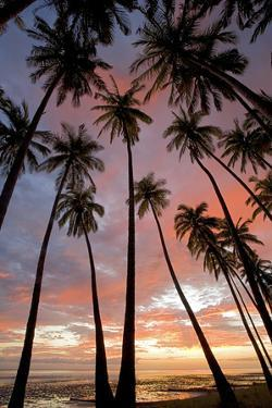 Palm Trees, Royal Kamehameha Coconut Palm Grove, Molokai, Hawaii, USA by Charles Gurche